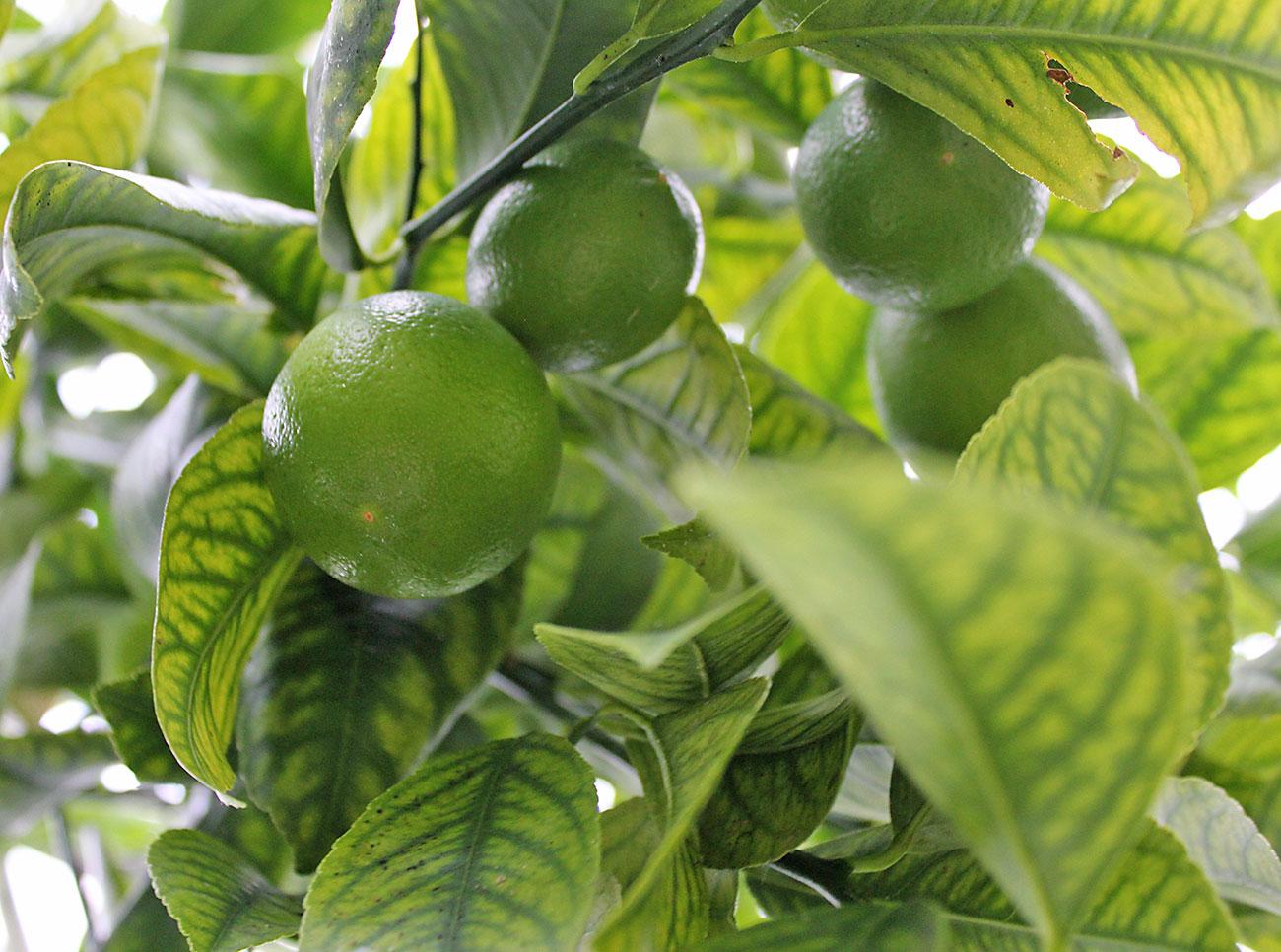 grüne Zitronen