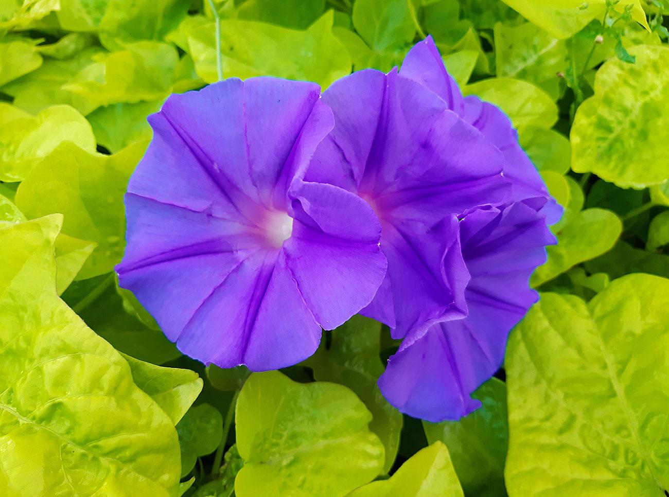 lilafarbene Blüten